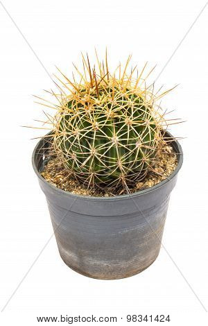 A cactus in the flowerpot