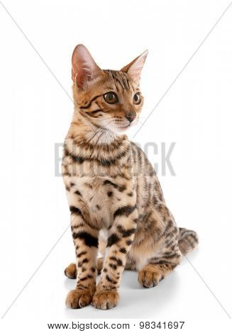 Beautiful Bengal kitten isolated on white
