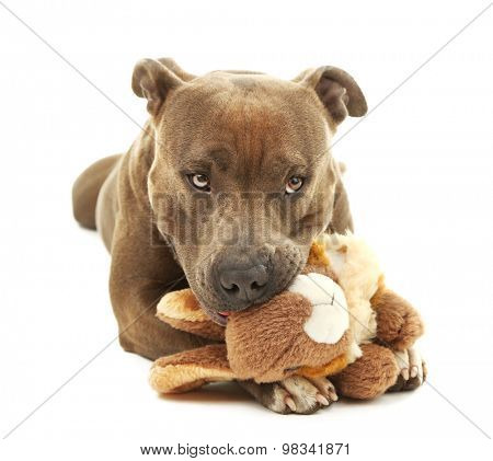 Dog with broken toy bunny rabbit isolated on white