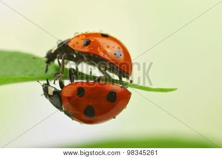 Ladybugs on leaf, closeup