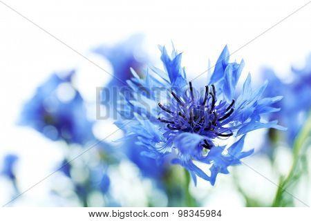 Beautiful small cornflowers close up