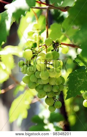 Grapes with green leaves on vine