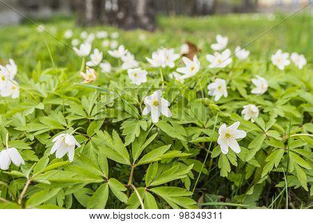 Anemone Nemorosa (wood Anemone, Windflower, Thimbleweed, Smell Fox, Anemonoides Nemorosa) - White Fl