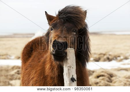 Brown Icelandic Horse Scratches On The Fence