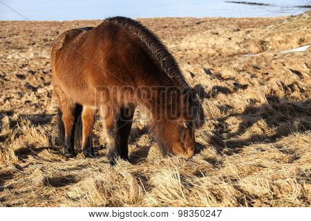 Brown Icelandic Pony On A Meadow