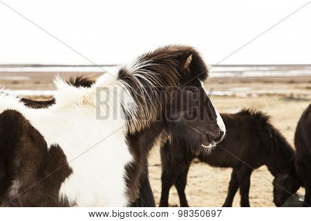 Portrait Of A Black And White Icelandic Pony
