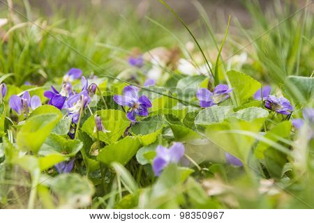 Viola Odorata (wood Violet, Sweet Violet, English Violet, Common Violet, Garden Violet)