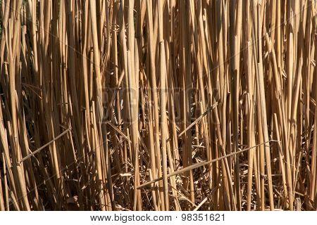 Dried ornamental grass stalks