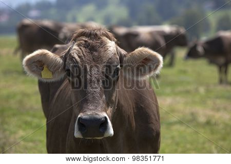 Portrait Of A High Yielding Cow