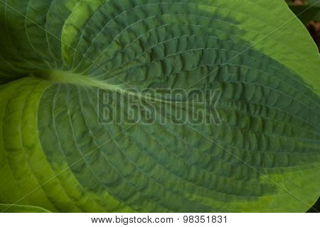 Large hosta leaf texture
