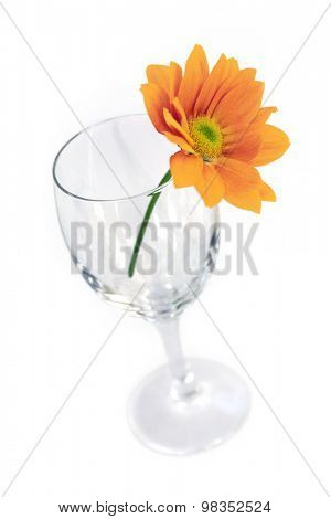 Yellow Gerber flower in an empty glass isolated on a white background