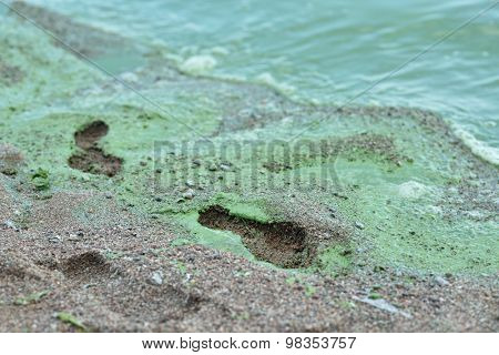 ST. PETERSBURG, RUSSIA - AUGUST 8, 2015: Blue-green algae blooms in the Gulf of Finland. The phenomenon observed since 1990s and caused mainly by high level of industrial pollution
