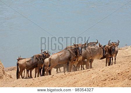 Migratory blue wildebeest (Connochaetes taurinus), Mara river, Masai Mara National Reserve, Kenya