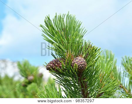Branch with cone. Pinus mugo