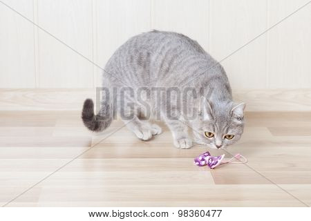 gray striped cat Stith on the wooden floor and looks at the bow