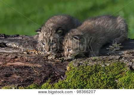 Baby Bobcats (lynx Rufus) Look Down From Log