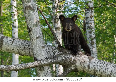 Young Black Bear (ursus Americanus) Looks Out From Tree Branch