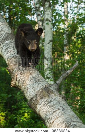Young Black Bear (ursus Americanus) Walks Down Birch Branch