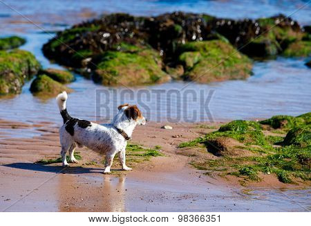 Russell Terrier dog playing in water, summer, beach