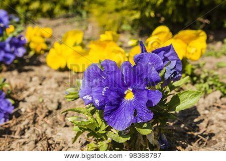 Pansy (viola wittrockiana Gams, Garden Pansy, Viola Tricolor Var. Hortensis)