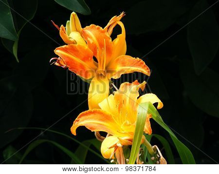 Twin Day Lilies