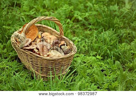 Basket with mushrooms on  green grass.
