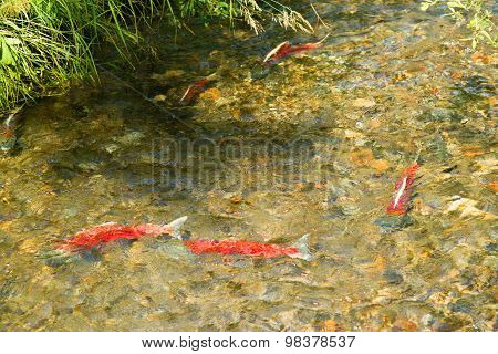 Spawning Fish Wild Salmon Swim Stream River Mating Swimming