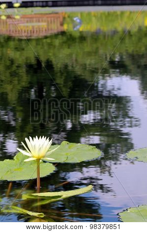 Lily pad on pond