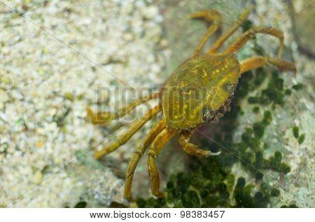 Carcinus Maenas Crab