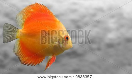 Melon Discus Fish