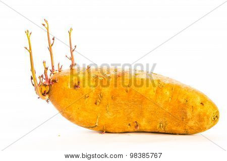 Sprouting Sweet Potato