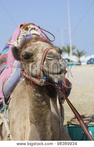Transport Camel With Bridle