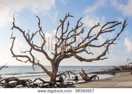 Dead Tree on Driftwood Beach at Jekyll Island Georgia