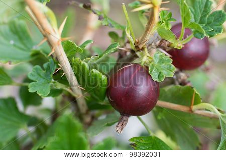 Ripe red hinomeaki ribes at closeup, red gooseberries