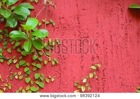 Closeup Of Red Wall Partly Covered With Green Plant With Small Leaves Stuck To The Wall