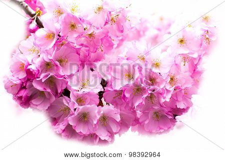 Beautiful Pink Cherry Blossom Branch, Sakura Flowers On White