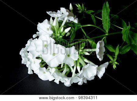 White Phlox Paniculata On Black