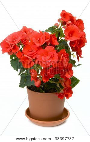Blossoming Begonia