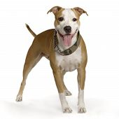 stock photo of staffordshire-terrier  - american staffordshire terrier white hazel standing in front of white background - JPG
