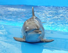 picture of bottlenose dolphin  - one bottlenose dolphin in blue pool water - JPG