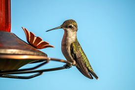 image of hummingbirds  - Female Ruby - JPG