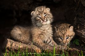 picture of hollow log  - Baby Bobcat Kittens  - JPG
