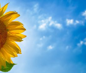 image of heliotrope  - yellow sunflower petals and blurred cloudy blue sky - JPG