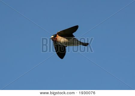Cliff Swallow Soaring