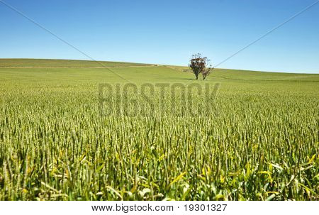 tree in fields of wheat in the countryside at burra south australia