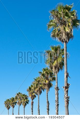 palm trees in a row against blue sky frame