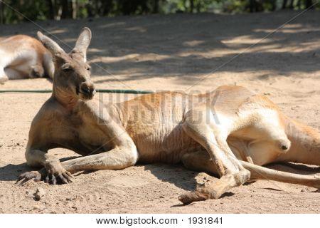 Lazy Kangaroo