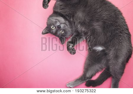 poster of grey funny cat posing. grey cat on the pink background. grey funny cat looking at camera. cute grey cat top view