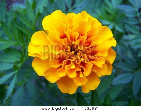 Brightly Colored Marigold