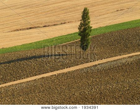 Solitary Poplar Tree
